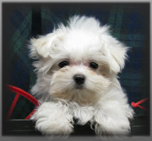 snlpuppies - puppies for sale in Iowa - Yorkies Maltese Poodles