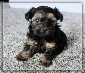 Puppies for sale in Iowa - Yorkies Maltese Poodles Morkies Maltipoos